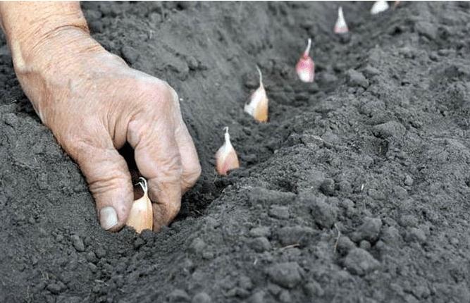 Когда сажать чеснок под зиму (осенью). Секреты щедрого урожая.