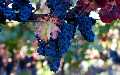 Синий виноград: польза и вред